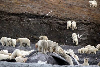 Osos polares, hacinados en una isla a causa del cambio climático