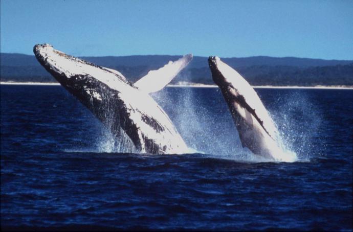 Japón retoma la caza comercial de ballenas tras 30 años de interrupción