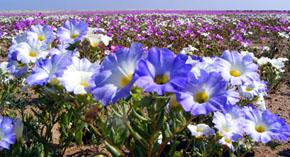 Desierto Florido: Patrimonio Natural de Atacama