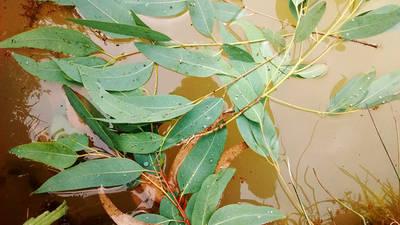 Hojas de eucalipto en el agua