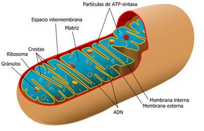 Las mitocondrias 'enseñan' al intestino a defenderse de la inflamación