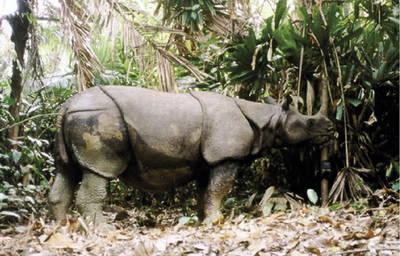 Rinoceronte de Java captado por una cámara para el estudio