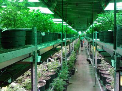 Semillas de Cannabis a granel: calidad y economía garantizadas