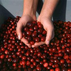 El consumo de arándanos rojos previene las infecciones urinarias en las mujeres